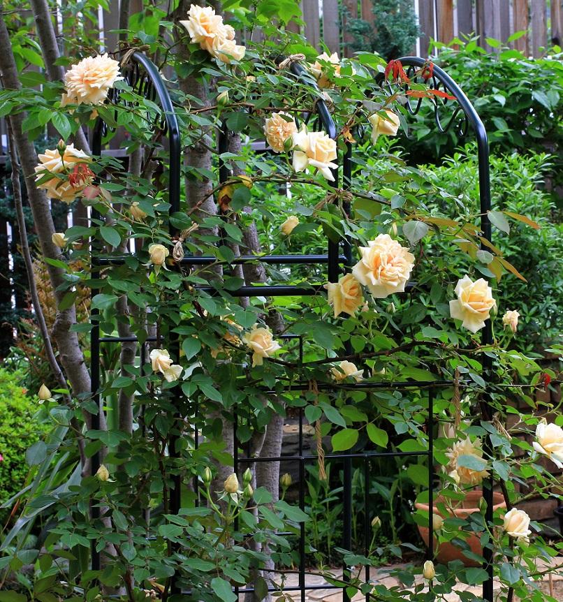 吊る薔薇が伸びて_a0107574_23051248.jpg