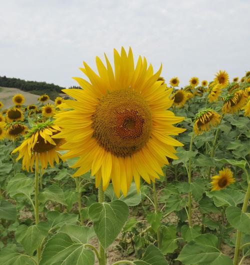 向日葵畑を見たくてーー大撃沈のプチ日曜日_c0179785_1152732.jpg
