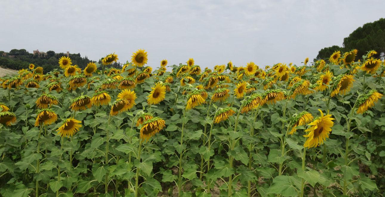 向日葵畑を見たくてーー大撃沈のプチ日曜日_c0179785_122359.jpg