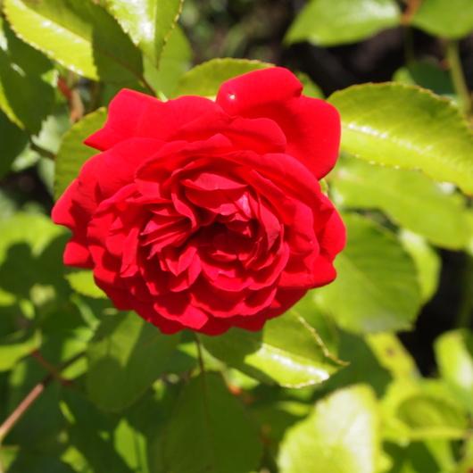 バラ、2回目のお花が咲いてきました_a0292194_11112276.jpg