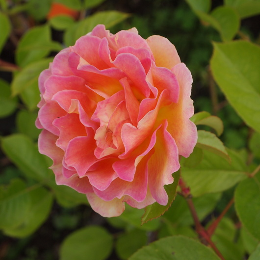 バラ、2回目のお花が咲いてきました_a0292194_11365117.jpg