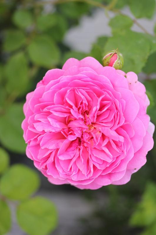バラ、2回目のお花が咲いてきました_a0292194_11441528.jpg
