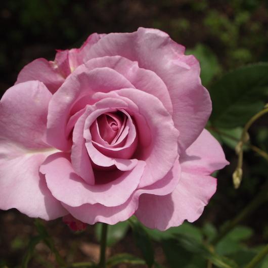 バラ、2回目のお花が咲いてきました_a0292194_1154759.jpg