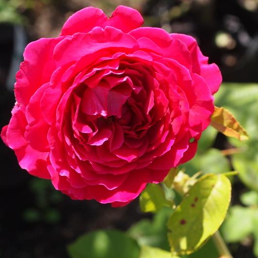 バラ、2回目のお花が咲いてきました_a0292194_11845.jpg