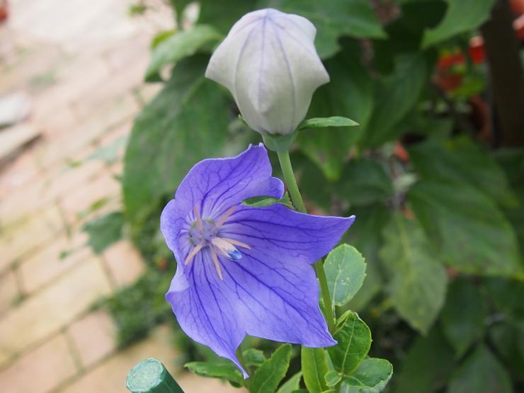 アーティーチョークの花とキキョウの花とクマゼミ_f0249710_00104834.jpg