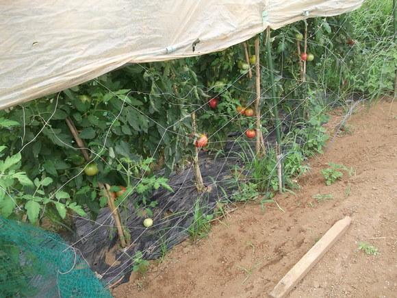 トマトはよく出来ました、はなまるです!_b0137932_1711720.jpg