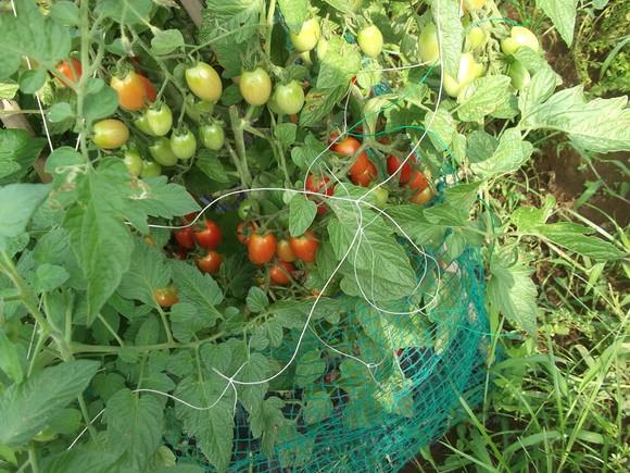 トマトはよく出来ました、はなまるです!_b0137932_17153013.jpg