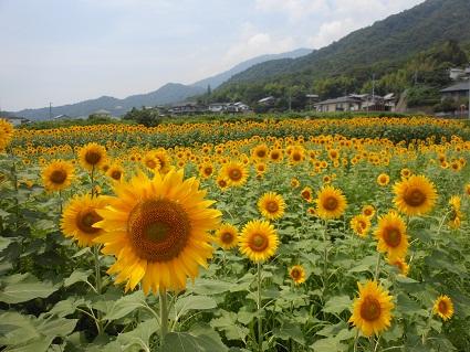 夏だ、今年も、ヒマワリだ_e0175370_1404470.jpg