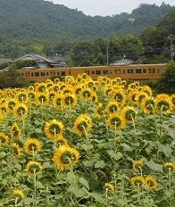 夏だ、今年も、ヒマワリだ_e0175370_1422643.jpg