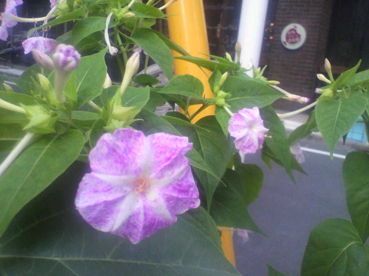 今年も夏花の………。_d0062076_1718502.jpg