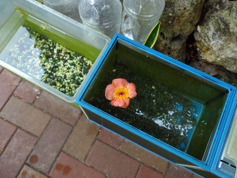 いつのまにかノウゼンカズラが咲いていた_c0025115_18334584.jpg