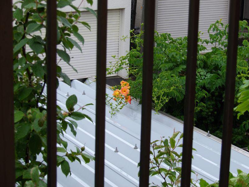 いつのまにかノウゼンカズラが咲いていた_c0025115_18383616.jpg