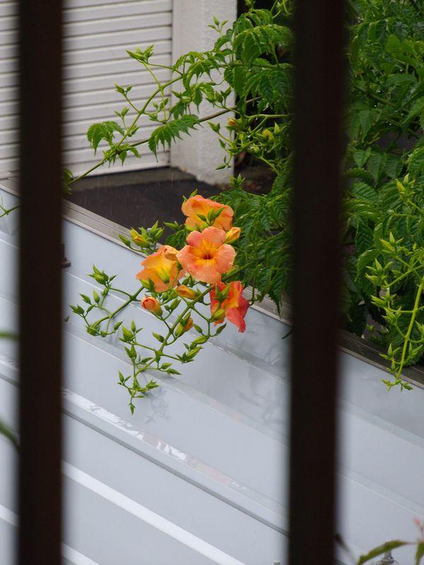 いつのまにかノウゼンカズラが咲いていた_c0025115_18383829.jpg
