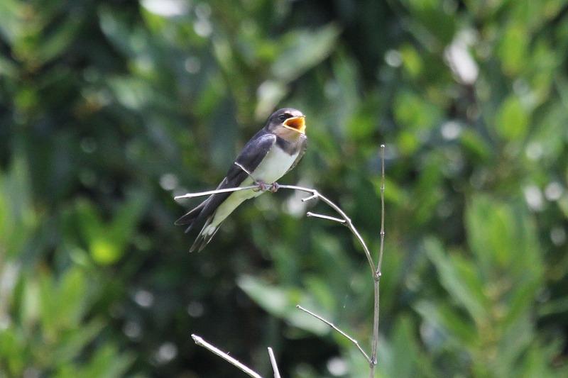 シギが増えてきました・・・週末の鳥類園(2014.7.19~21)_e0046474_1754825.jpg