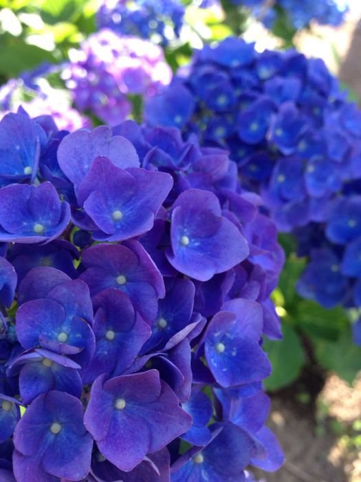 紫陽花_a0071514_993788.jpg