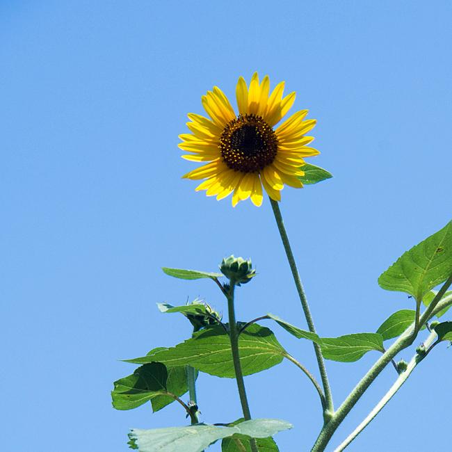 ヒマワリの夏。_b0022268_12115034.jpg