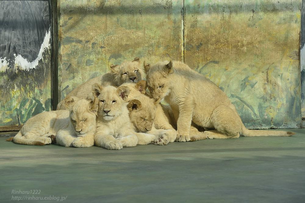2014.1.12 姫路セントラルパーク☆ホワイトライオンの子供たち【White lion】_f0250322_10321094.jpg