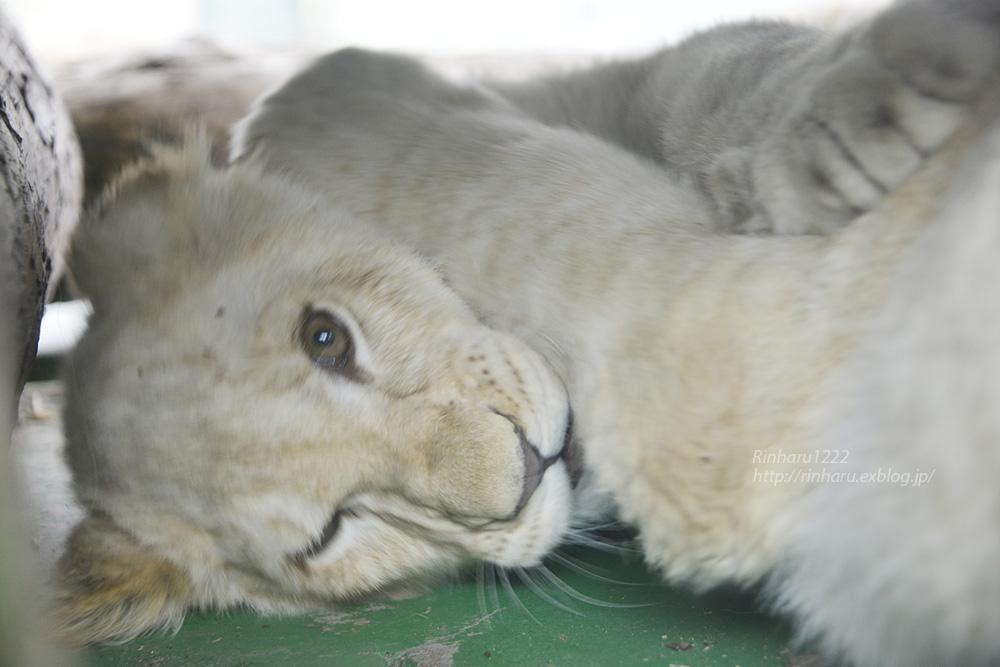 2014.1.12 姫路セントラルパーク☆ホワイトライオンの子供たち【White lion】_f0250322_10321515.jpg
