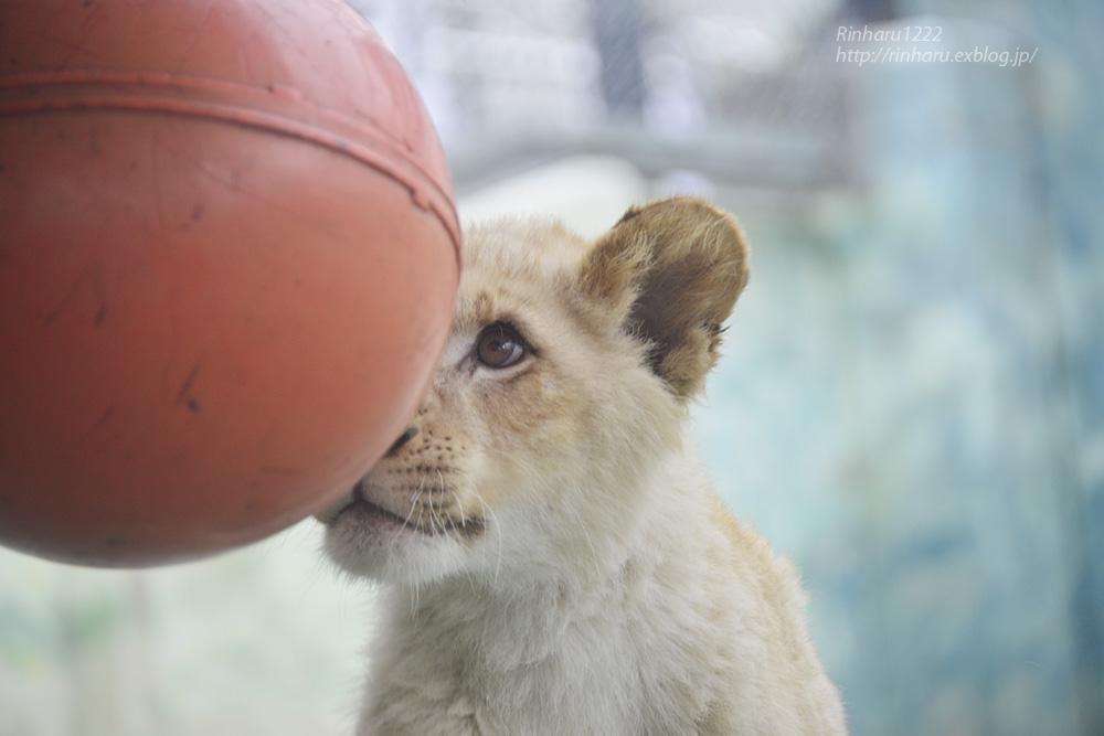 2014.1.12 姫路セントラルパーク☆ホワイトライオンの子供たち【White lion】_f0250322_10322075.jpg