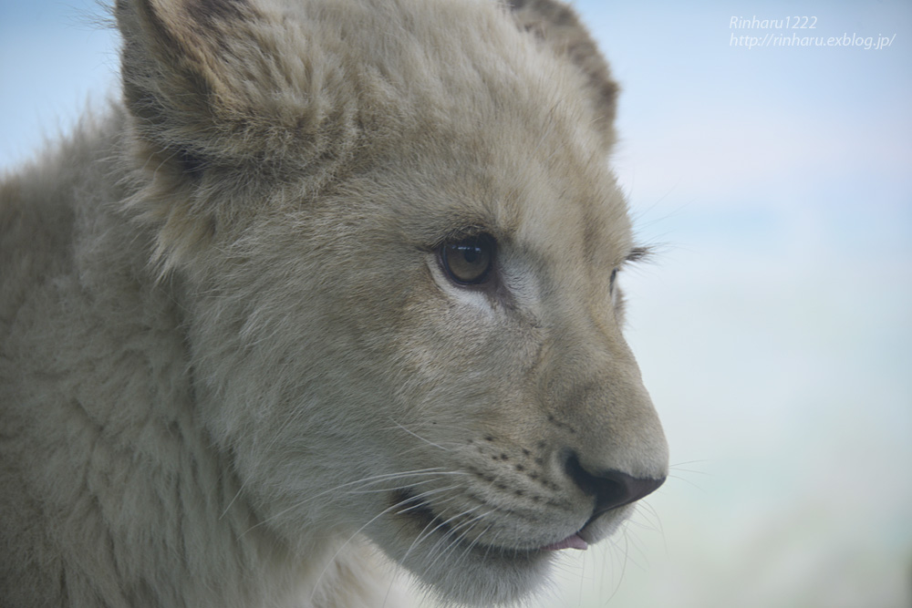 2014.1.12 姫路セントラルパーク☆ホワイトライオンの子供たち【White lion】_f0250322_10322495.jpg