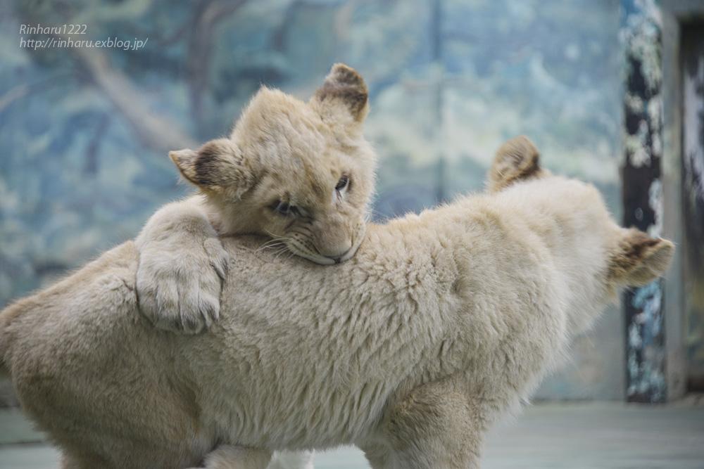 2014.1.12 姫路セントラルパーク☆ホワイトライオンの子供たち【White lion】_f0250322_10322821.jpg