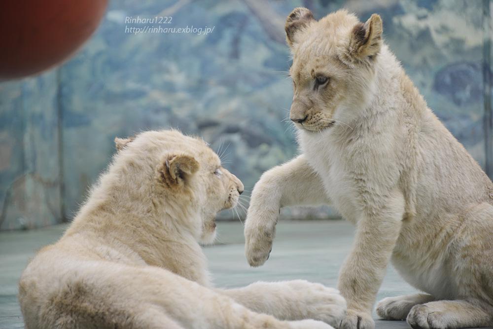 2014.1.12 姫路セントラルパーク☆ホワイトライオンの子供たち【White lion】_f0250322_10323357.jpg