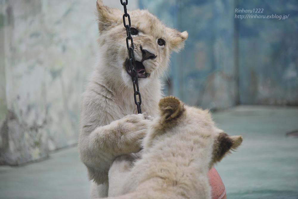 2014.1.12 姫路セントラルパーク☆ホワイトライオンの子供たち【White lion】_f0250322_1032502.jpg