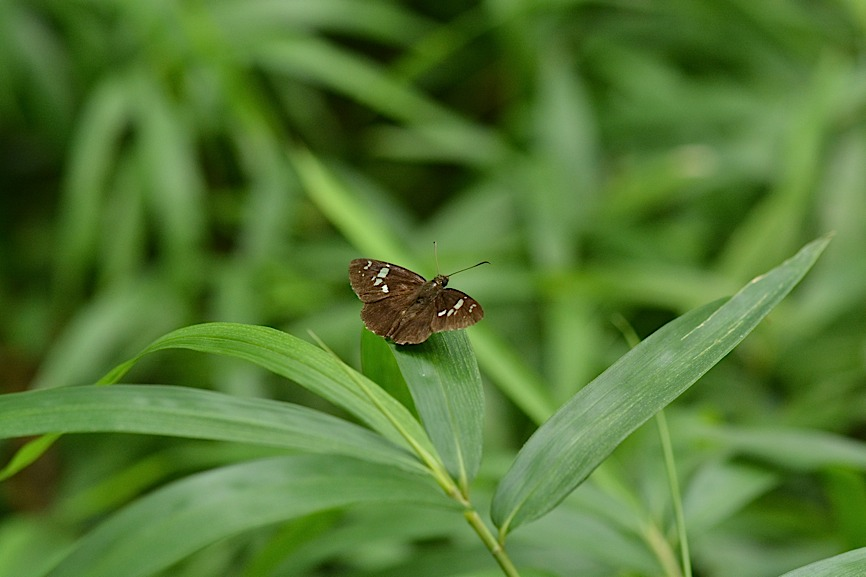 梅雨明け直後の蝶たち(2014年7月26日) _d0303129_4425474.jpg
