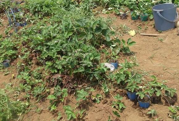イチゴの苗がすこし出来ました。_b0137932_2129893.jpg