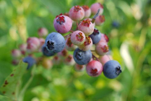 ブルーベリーの季節到来 2014_f0222692_15454325.jpg