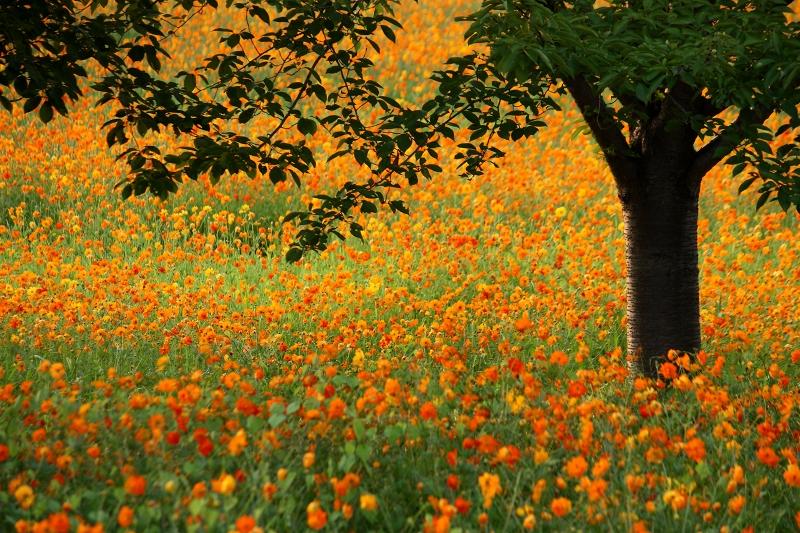 桜の木とキバナコスモスが綺麗で美しい花畑
