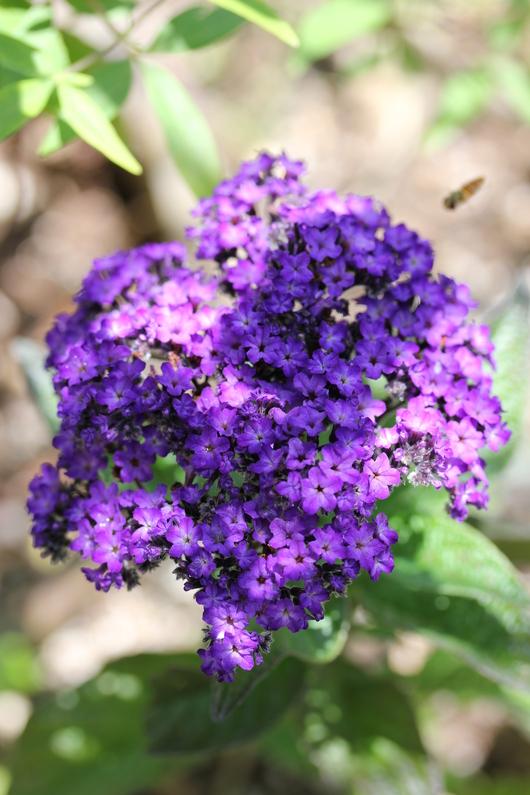 これからお花が咲くハーブ_a0292194_10442899.jpg