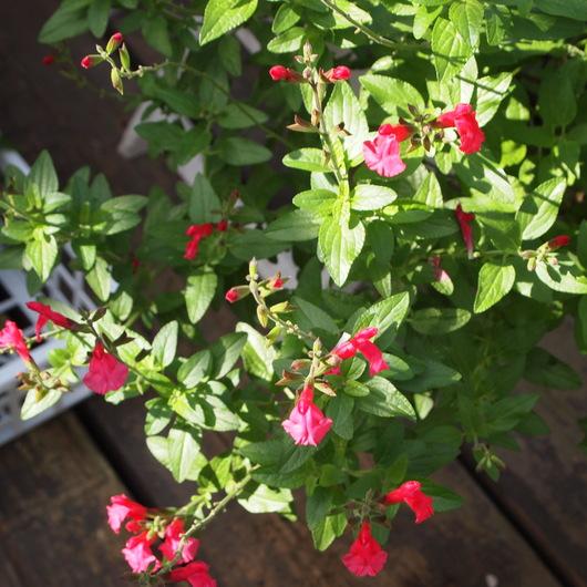 これからお花が咲くハーブ_a0292194_2183161.jpg