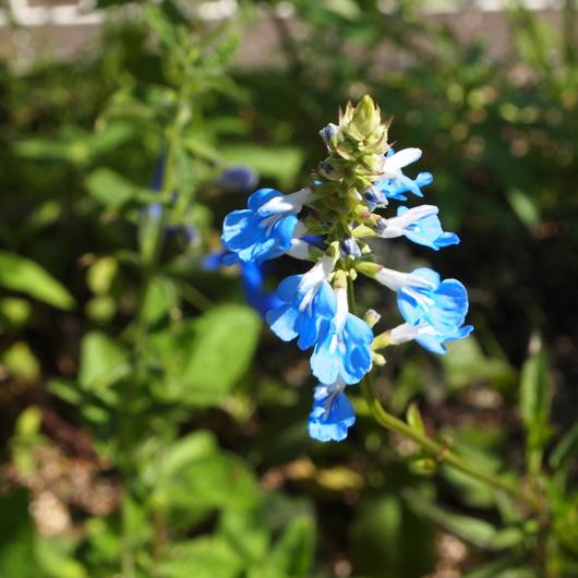 これからお花が咲くハーブ_a0292194_2195953.jpg