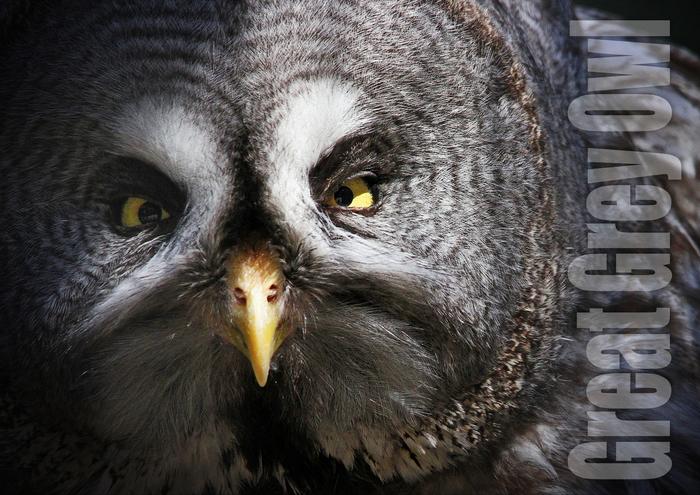 カラフトフクロウ:Great Grey Owl_b0249597_741315.jpg