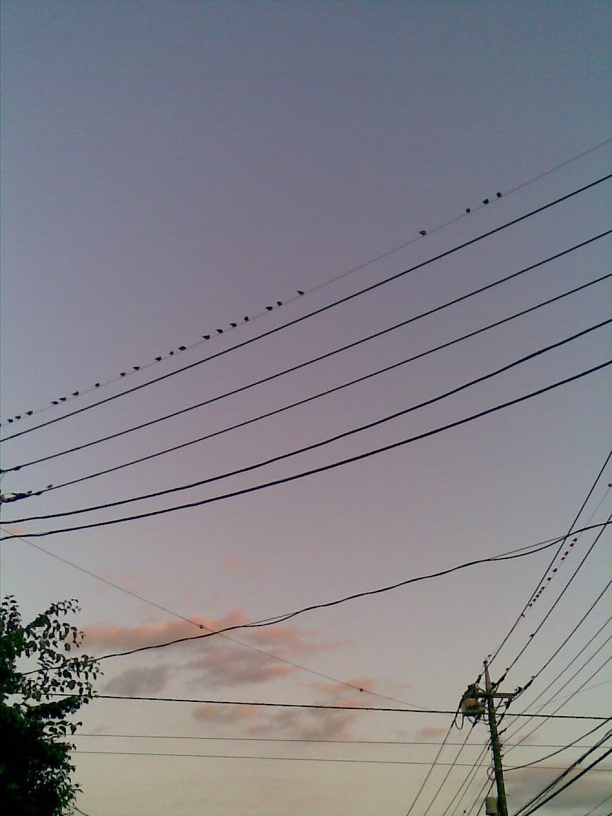 行き場のない朝霞のムクドリはオレの頭上に投下する_d0061678_22205546.jpg