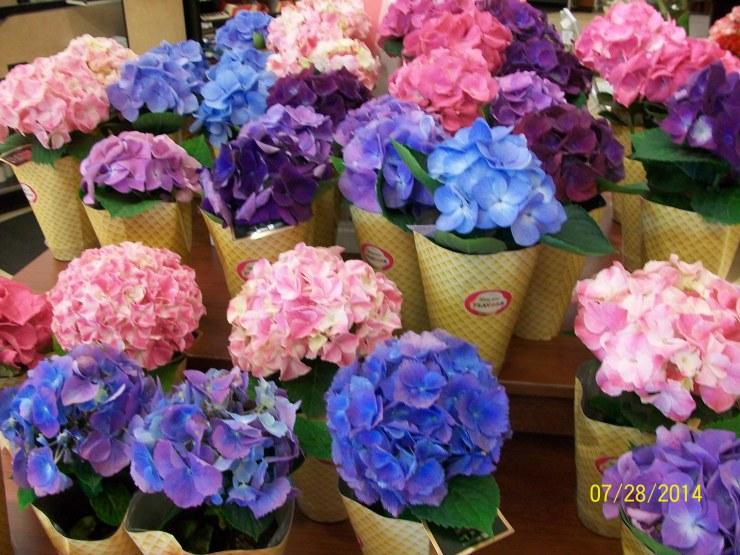 紫陽花♪_a0315750_05115482.jpg