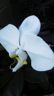 今年、二度咲いた胡蝶蘭のこと_b0299052_18122085.jpg