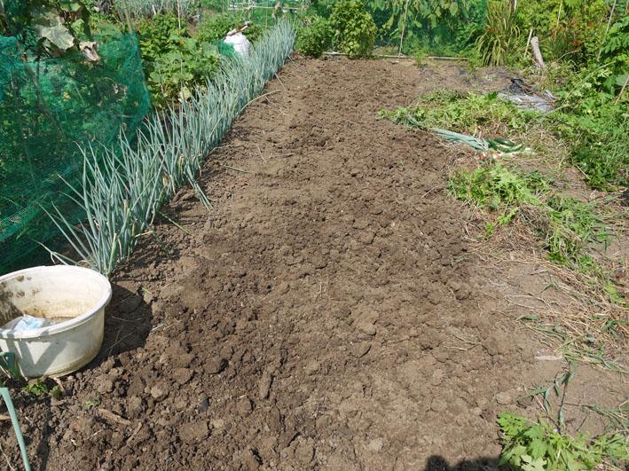 サトイモ水遣り、ダイコンの土作り、下仁田ネギ収穫7・28_c0014967_102482.jpg