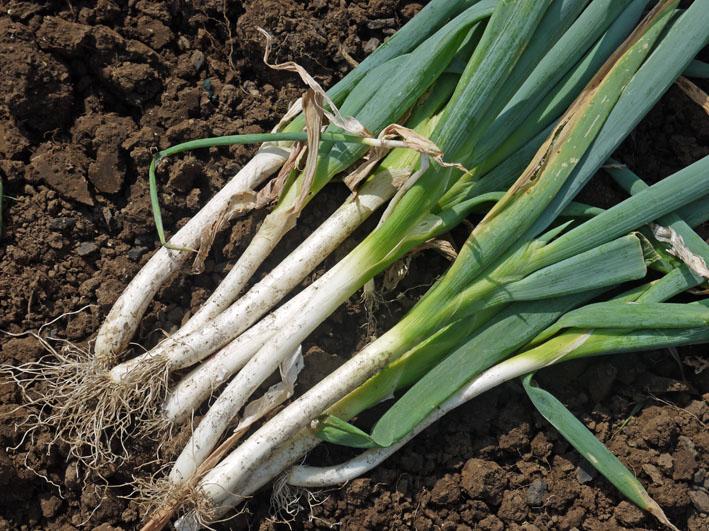 サトイモ水遣り、ダイコンの土作り、下仁田ネギ収穫7・28_c0014967_1031125.jpg