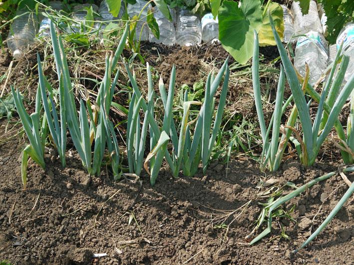 サトイモ水遣り、ダイコンの土作り、下仁田ネギ収穫7・28_c0014967_107647.jpg