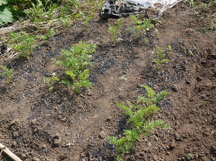 サトイモ水遣り、ダイコンの土作り、下仁田ネギ収穫7・28_c0014967_1081948.jpg