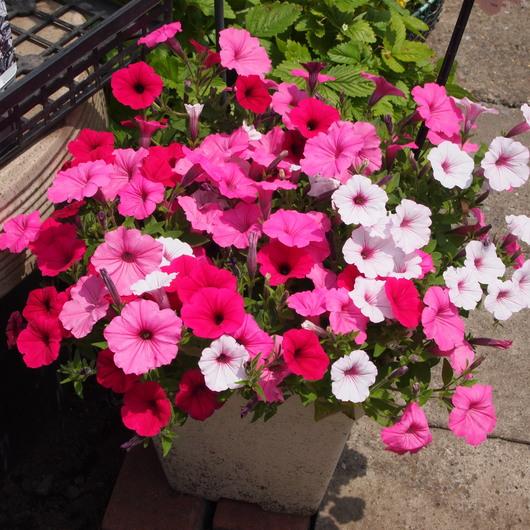 寄せ植え、夏の切り戻し①_a0292194_17274195.jpg