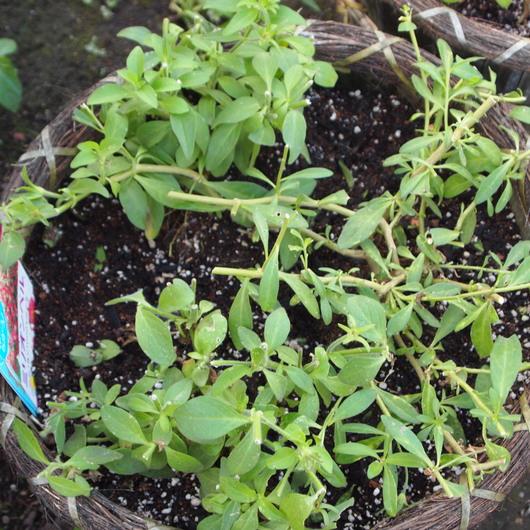 寄せ植え、夏の切り戻し①_a0292194_1751099.jpg