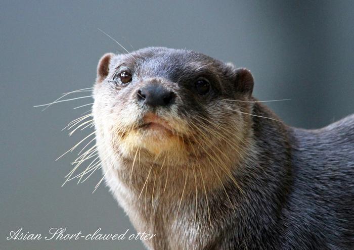 コツメカワウソ:Asian Short-clawed otter_b0249597_5263954.jpg