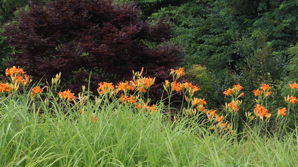 アトリエの芝置屋根のカンゾウは満開_e0054299_995172.jpg