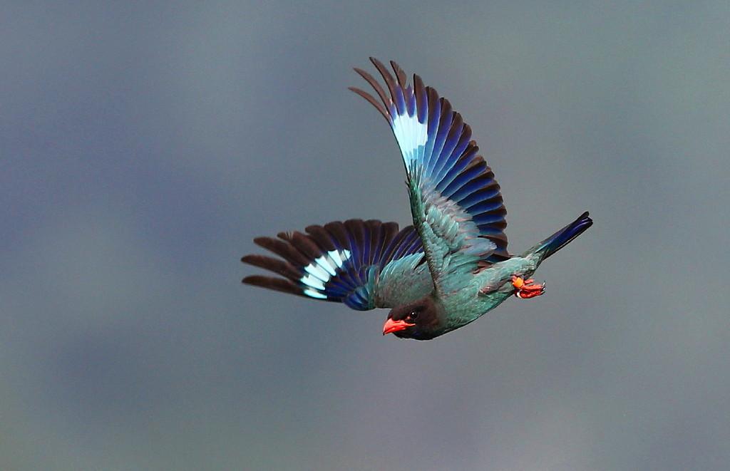 仏法僧を再び : 石さんの鳥撮り...