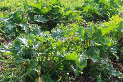 2014年ルバーブの収穫は中止いたしました。_c0110869_5553416.jpg