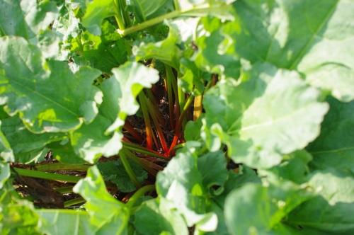 2014年ルバーブの収穫は中止いたしました。_c0110869_5554615.jpg