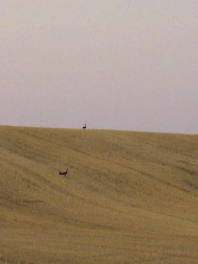 麦畑と渡り鳥_c0213220_5483944.jpg